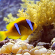 Stock Photo: Anemone fish