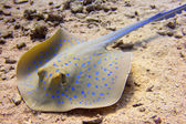 Blue-spotted stingray — Stock Photo