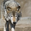 Wolf portrait — Stock Photo #3086647