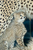 Stuffed cheetah cub — Stock Photo