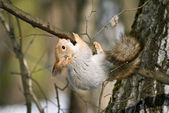 Squirrel upside down — Stock Photo