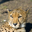 Sleepy cheetah — Stock Photo