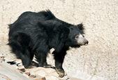 Curious bear — Stock Photo
