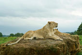 Lioness resting — Stock Photo