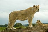 Lioness watching — Stock Photo