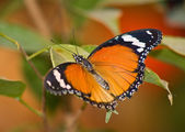 Tropical butterfly 2 — Stock Photo