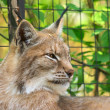 Lynx portrait — Stock Photo #3159493
