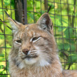Lynx portrait — Stock Photo