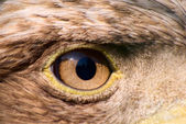 Eagle eye — Stock Photo