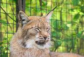 1 esneme lynx — Stok fotoğraf