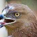 Eagle portrait — Stock Photo
