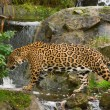 Jaguar (P. Onca) - Stock Photo