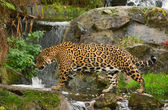 Jaguar (P. Onca) — Stock Photo