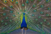Beautiful peacock. — Stock Photo