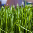 Wheatgrass - Stock Photo