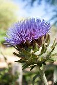 Artichoke Flower — Stock Photo