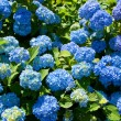 Hydrangea Macrophylla - Stock Photo