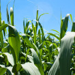 Cornfield Background - Stock Photo