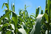 Cornfield Background — Stock Photo