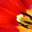 Red tulip — Stock Photo #3211724