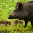 Wild pigs — Stock Photo