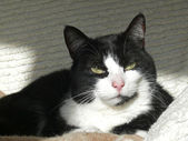 Shorthair cat — Stock Photo