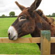 Stock Photo: Brown donkey resting on fence