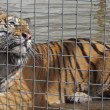 A Caged Male Tiger — Stock Photo