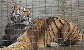 Un tigre macho enjaulado — Foto de Stock