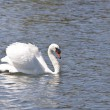 Swan floating on lake — Stock Photo