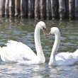 Two lovely swans on a lake — Stock Photo