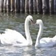 Stock Photo: Two lovely swans on a lake