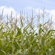 Stock Photo: Sweetcorn field