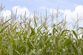 Sweetcorn field — Stock Photo