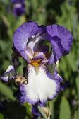 Flower irises — Stock Photo