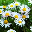 Marguerite — Stock Photo