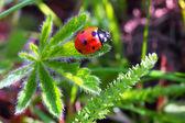 瓢虫 — 图库照片