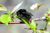 Bumble-bee — Stock Photo