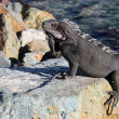 Iguana on the Rock — Stock Photo