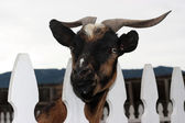 Goat Behind Fence — Stock Photo
