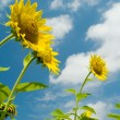 Royalty-Free Stock Photo: Three sunflowers against the sky with clouds