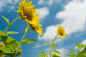 Three sunflowers against the sky with clouds — Stockfoto