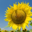 A bee on a sunflower in a sunny day — Stock Photo