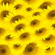 Sunflower's background — Stock Photo