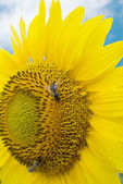 Two bees on a sunflower in summer day — Stock Photo