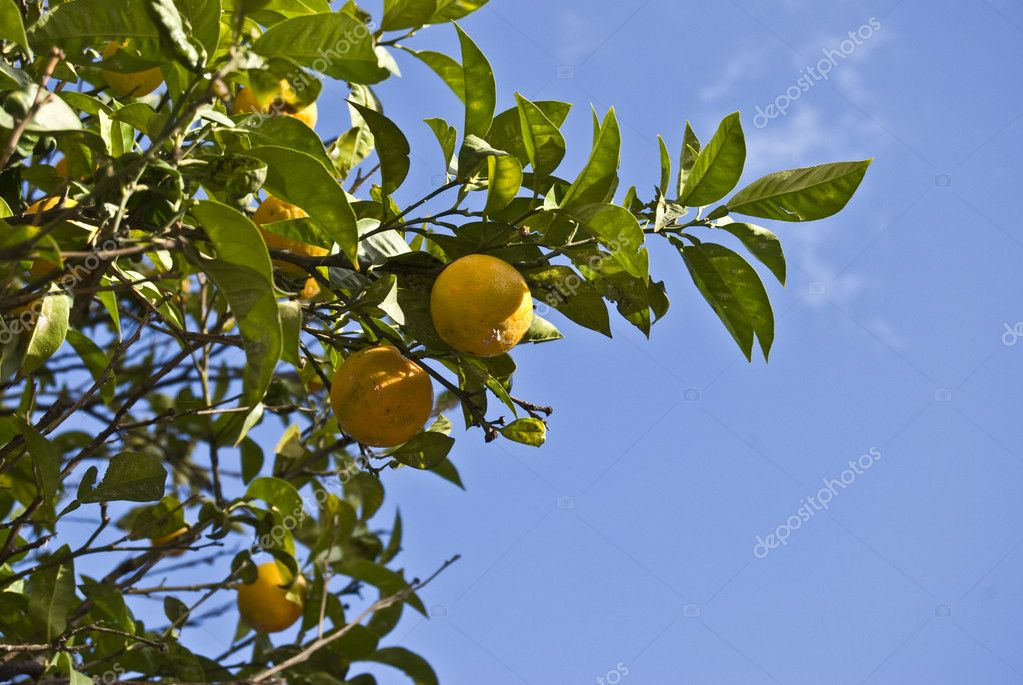 Lots of oranges on a tree from below — Photo #3098035