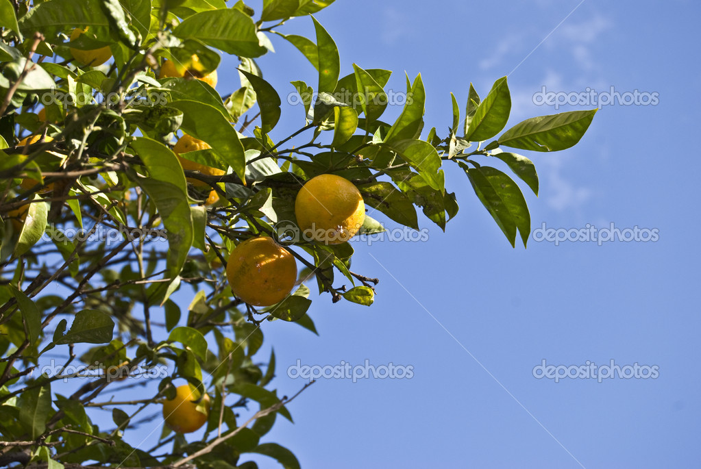 Lots of oranges on a tree from below  Foto de Stock   #3098035