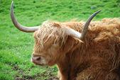 Highland bull — Stock Photo