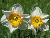 Two daffodils — Stock Photo