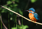 Alcedo Atthis — Stock Photo